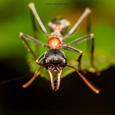 Jack Jumper Ant -  Myrmecia pilosula