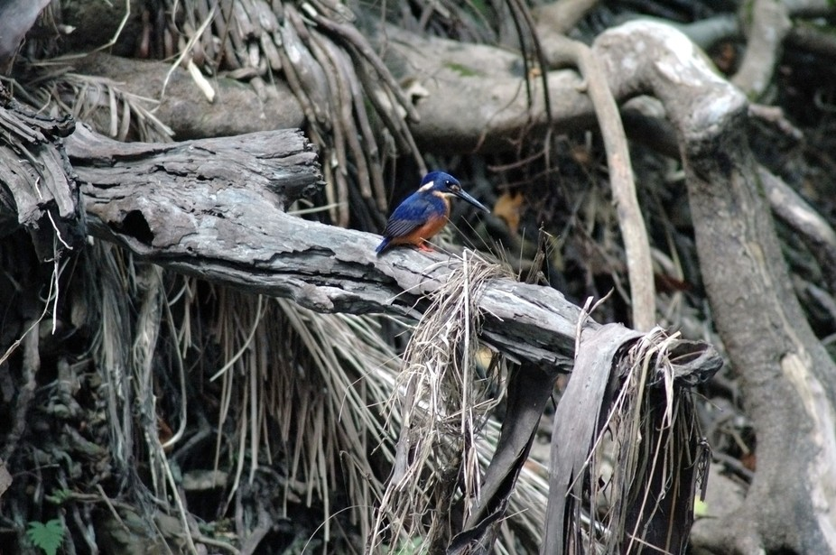 Little kingfisher sitting on a dried tree branch that has fallen due to drought, but still watchi...