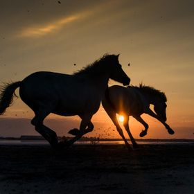 The wild horses in the Camargue region of Southern France.