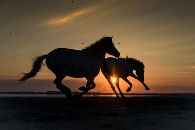 Camargue white horses silhouette