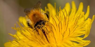 Carder bee on wild flower