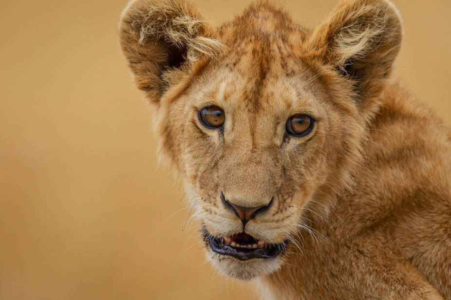 A beautiful lion cub shows off for my camera in Serengeti National Park