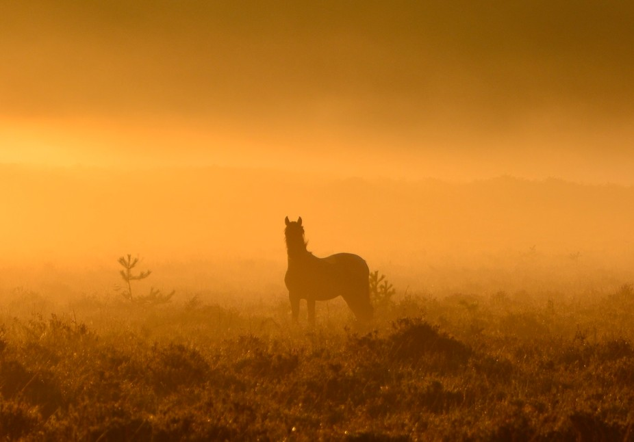 Early morning sunrise in a misty New Forest.  We have free roaming ponies all over the forest, an...