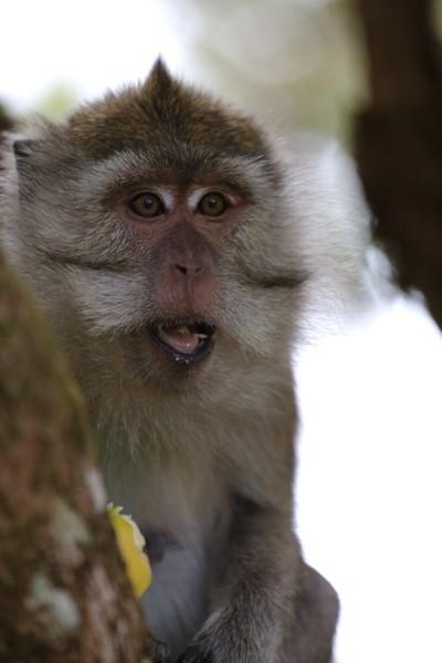 Elder Mauritian Monkey