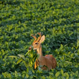 A summer velvet buck feeds on a lone corn stalk in the middle of a bean field in evening light.