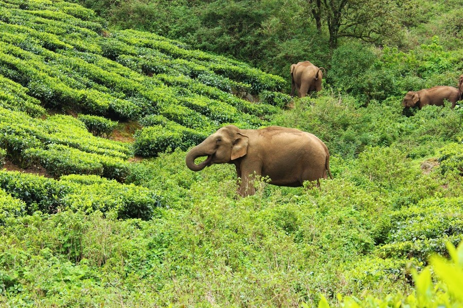 Found these group @ Megamalai, Theni District (TN, India) Was playing all around the Tea Estate a...