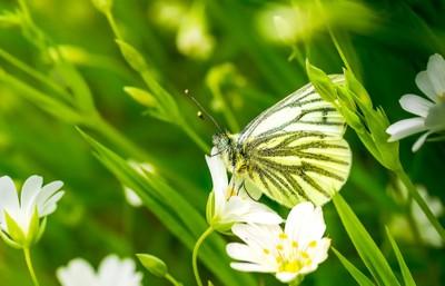 Green Veined White 001