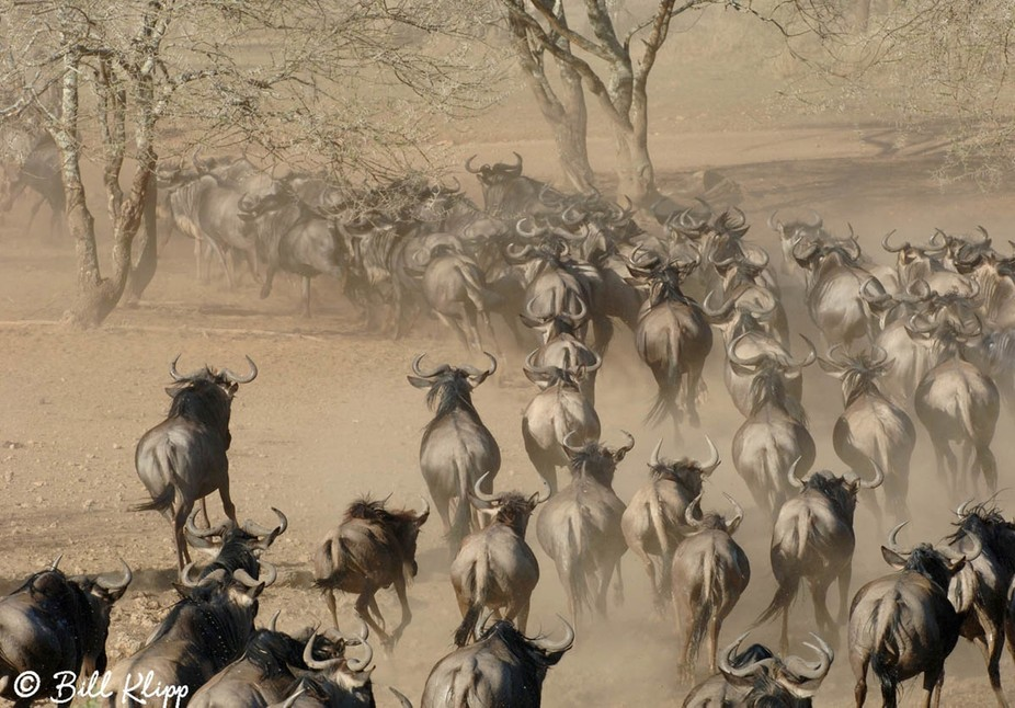 We positioned ourselves at sunrise near a watering hole in the Serengeti Tanzania. A large herd o...