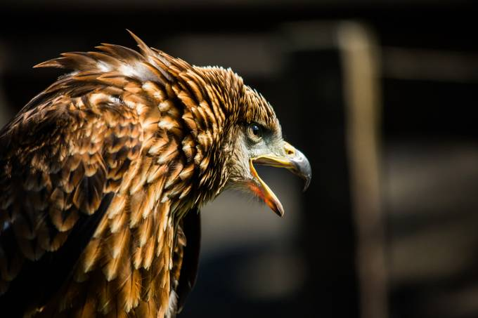 black kite by dannymoore - Just Eagles Photo Contest