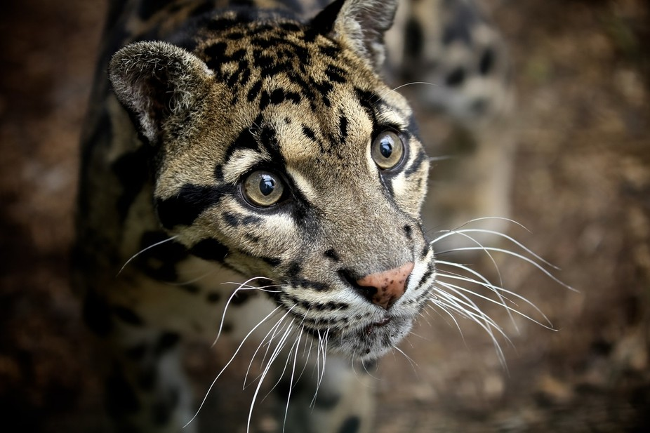A gorgeous Clouded Leopard at WHF Big Cat Sanctuary...