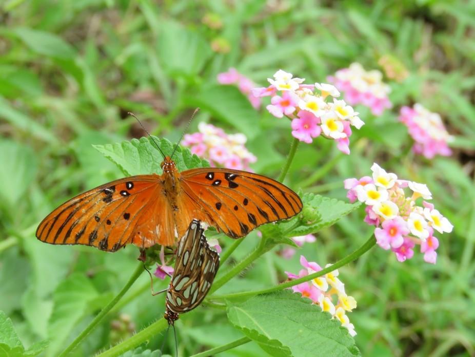 Mating Gulf Fritillary Butterflies on Lantana