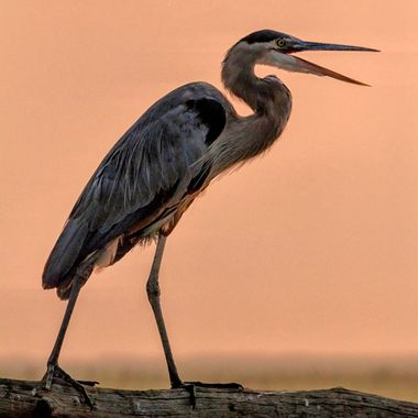 Great blue heron announcing the start of another day at Bombay Hook NWR.