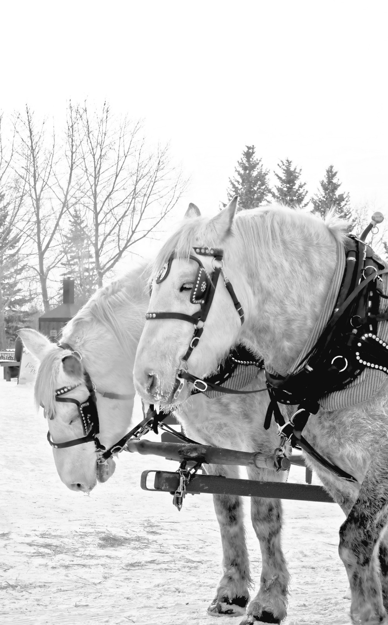 Horse Team Black and White Image