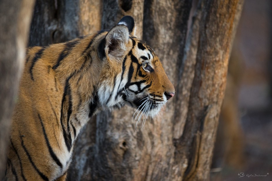 Tiger in Ranthambore National Park, India.  See more at www.kylebehrend.com