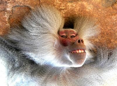Happy Baboon