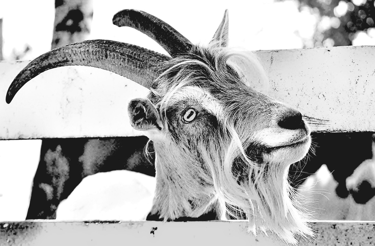 Goat Ya!