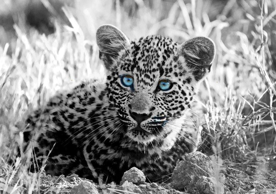 Young Leopard hiding in the grass for his mother's return