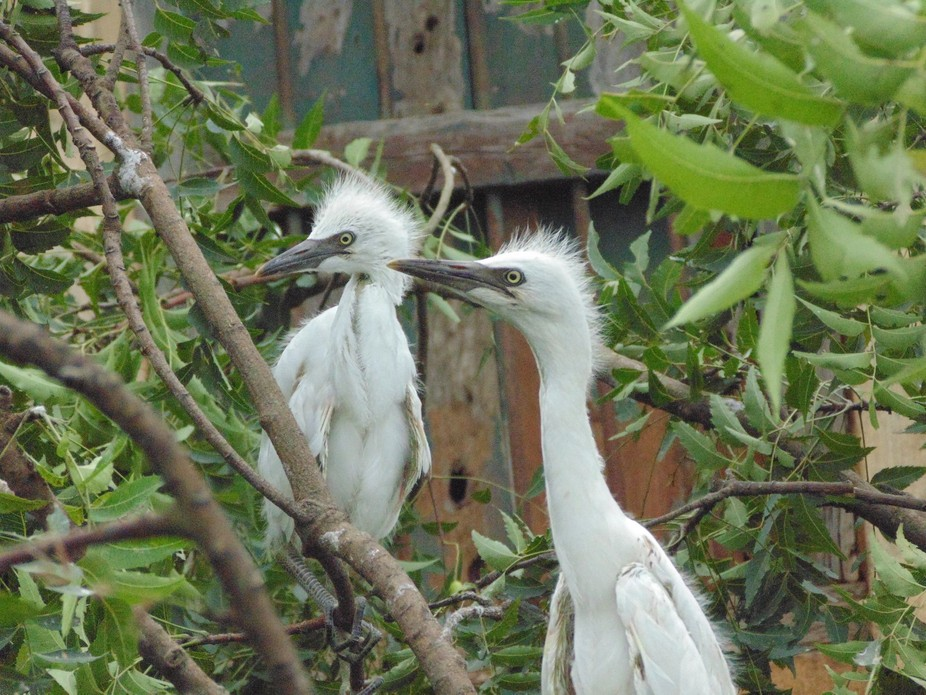 two baby cranes sitting on a broken nest