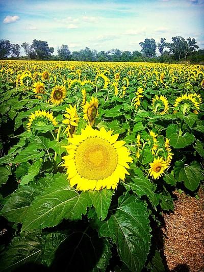 Love inside of sunflowers