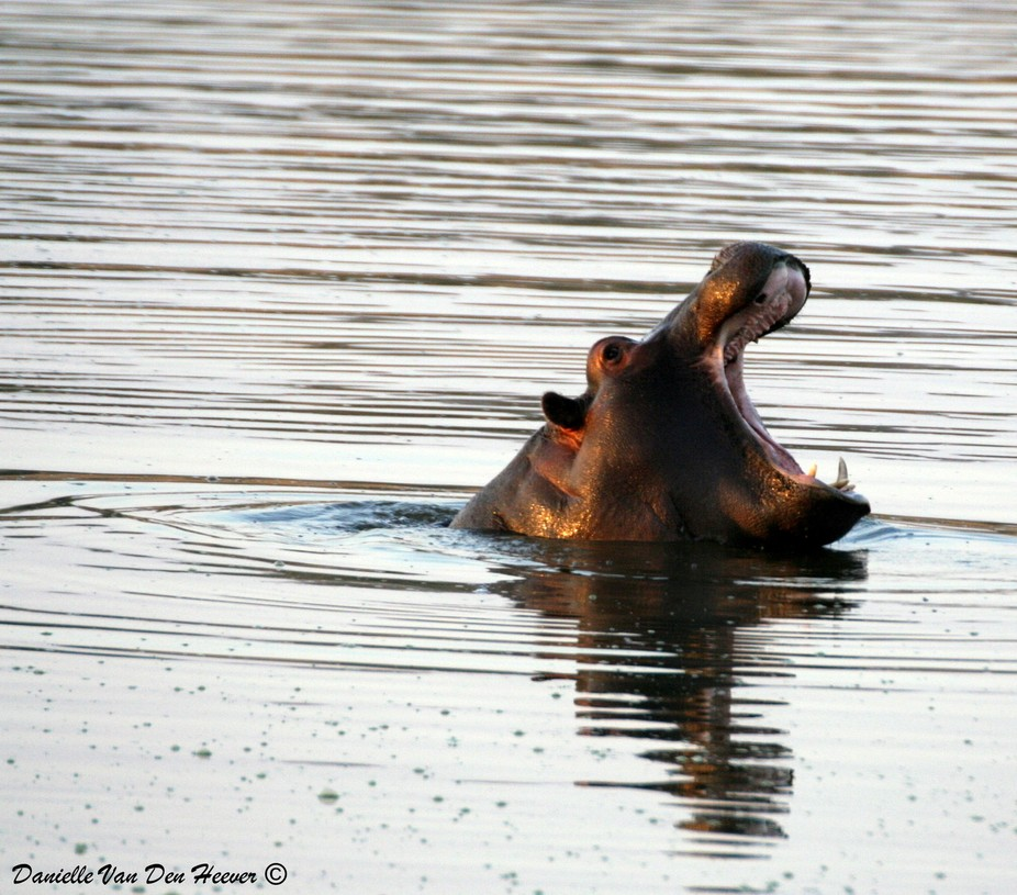 Hippo yawning in the early morning at the Kruger National Park in South Africa