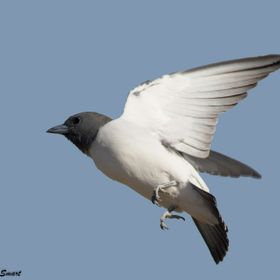 These little birds migrate to the Northern Territory each year.  Dark grey and white are their only colours.