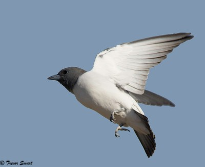 White breasted Woodswallow