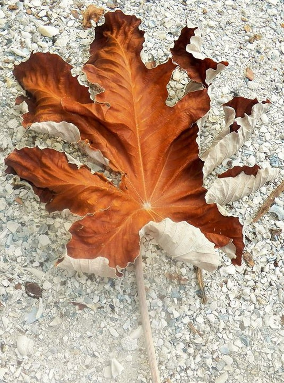 large fallen leaves ready for dry flower display