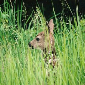 a single fawn laying in long grass with only it's head visible