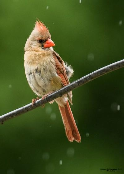 Female Northern Cardinal in the rain - Yard Birds - Concord, NH 07-04-15