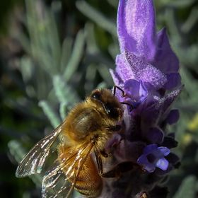 macro image of a bee on lavender flower.