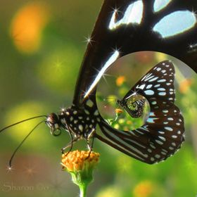 Photo of a butterfly on flower manipulated in GIMP to create a Droste effect.
