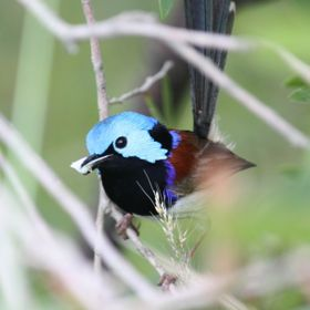 Blue Wren with Moth