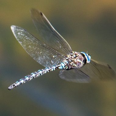 Dragonfly in flight at Ute Lake, Colorado