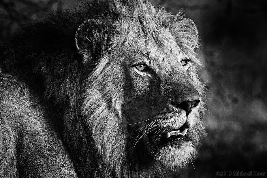 Majingilane Male coalition member, Londolozi Reserve, Sabi Sands, South Africa