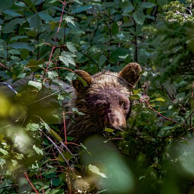 My sons and I ran across this young grizzly on a hike in Glacier National Park in the summer of 2014.   Luckily he was more concerned with eating the berries than he was with us.  He was about 25 yards away down a slight incline.  It was quite a neat experience.