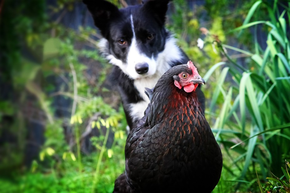 Our Border Collie has just inherited some new chickens and so spends a large part of her day herd...