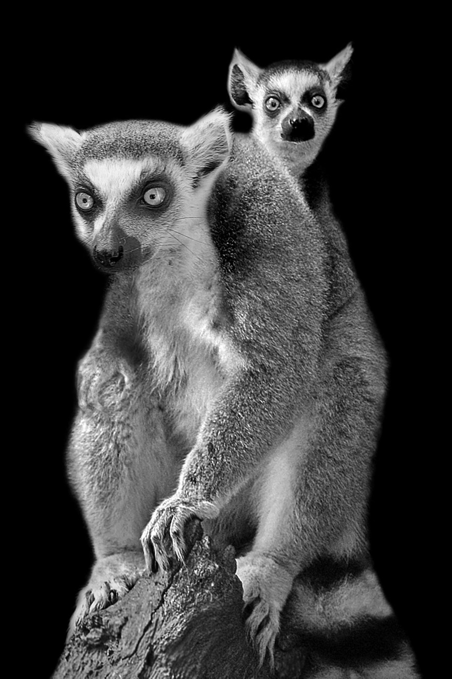 What's Up  by carolmaurerlyon - Animal Faces In Black And White Photo Contest