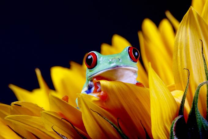 Sunflower and Red Eyed Tree Frog by connieleicester - Image of the Year Photo Contest by Snapfish
