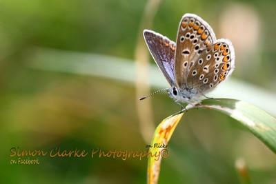 Common Blue FE