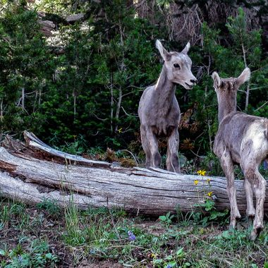 Two bighorn sheep kids that were playing around along the trail between Dunraven Pass and Mount Washburn in Yellowstone National Park.