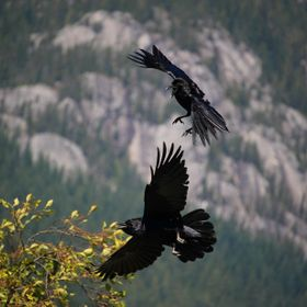 Lucky shot of two young ravens playing. There were actually 4 of them.