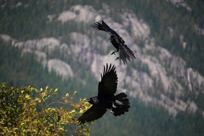 Young Ravens