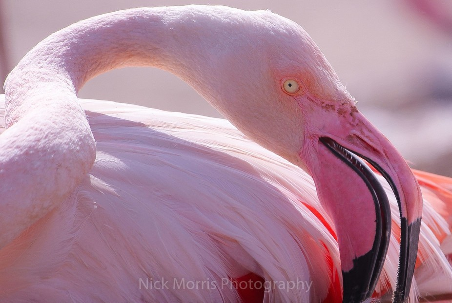 Greater Flamingo IMG_9036