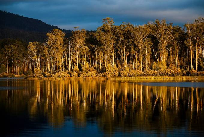 Sunrise at Repluse Dam, Tasmania. The White Gum reflecting the golden sunlight.