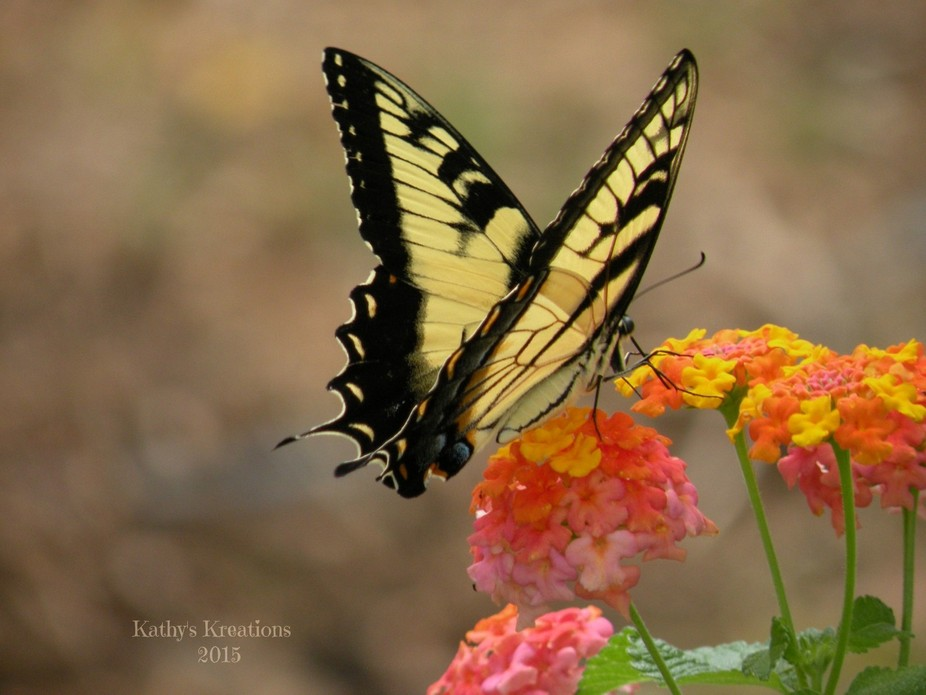 Eastern Tiger Swallowtail on Lantana Flower