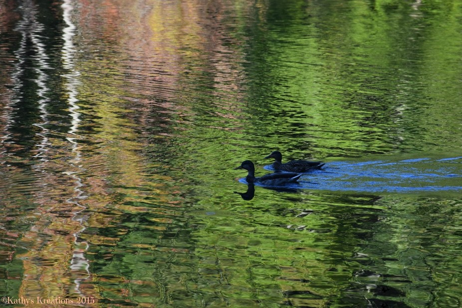 Ducks Swimming in Color
