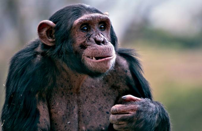 TOOTHY by joannegraham - Monkeys And Apes Photo Contest