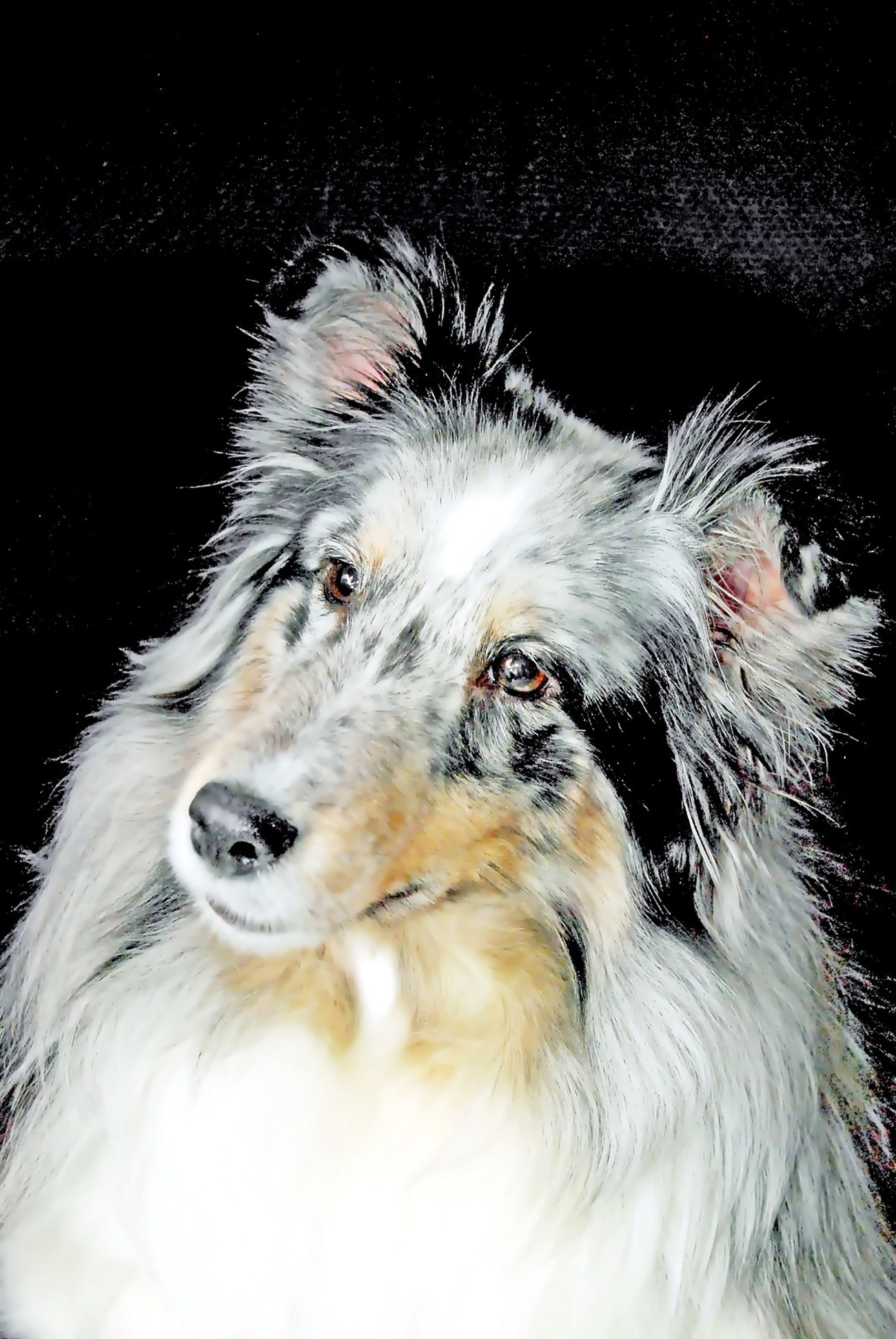 Faith - Champion Sheltie