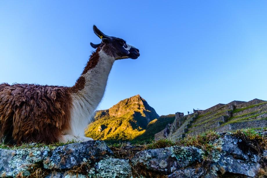 Machu Pichu Lama (1 of 1)