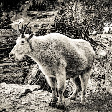 B&W Mountain Goat